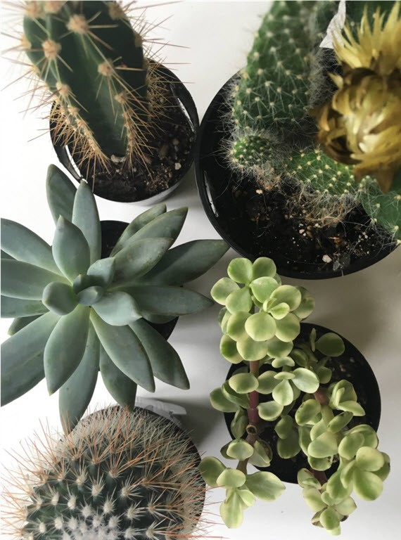 cacti + succulents // @simplifiedbee