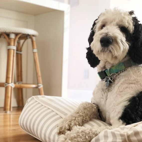 cute dog accessories - Dino the Sheepadoodle #sheepadoodle